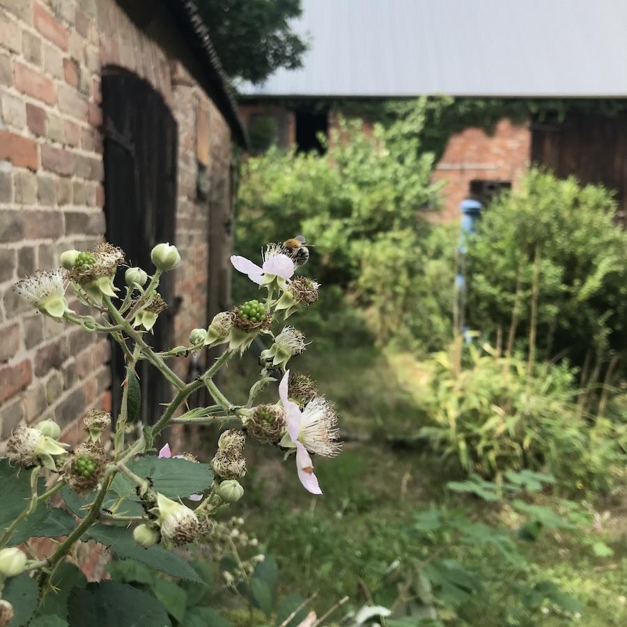 Eichhof Brombeerblüten